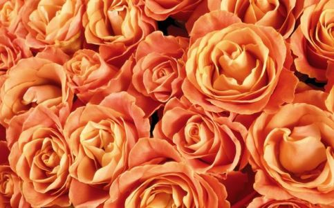 http---s1.picswalls.com-wallpapers-2014-01-27-orange-roses_042301134_17